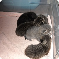 Adopt A Pet :: Raven Litter 1-5 - crofton, MD