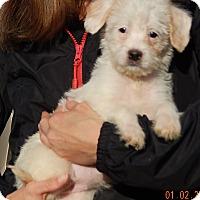Adopt A Pet :: Lakota (5 lb) Unique Pup! - Sussex, NJ