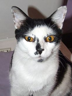 Domestic Shorthair Cat for adoption in Burbank, California - Vicent Van Gato