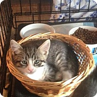 Adopt A Pet :: Corbin - Jenkintown, PA