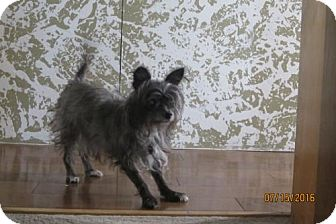 Cairn Terrier Dog for adoption in C/S & Denver Metro, Colorado - Princess  9 Years