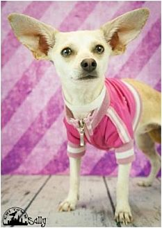 Dachshund/Chihuahua Mix Dog for adoption in Scottsdale, Arizona - Sallie