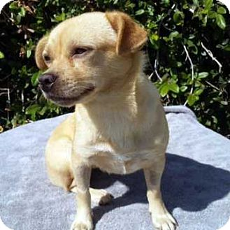 Chihuahua Mix Dog for adoption in New York, New York - Sabrina!