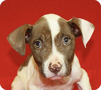 Pit Bull Terrier Mix Puppy for adoption in Jackson, Michigan - Leonardo