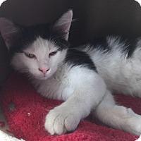 Adopt A Pet :: Spirit - Richland Hills, TX
