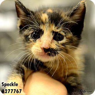 Domestic Mediumhair Kitten for adoption in Conroe, Texas - SPECKLE