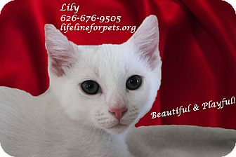 Domestic Shorthair Kitten for adoption in Monrovia, California - A Kitten Girl: LILY