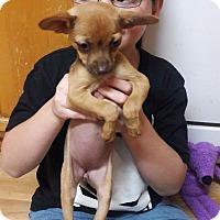 Adopt A Pet :: Poppy - Lacey, WA
