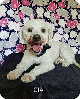 Poodle (Miniature) Mix Dog for adoption in San Antonio, Texas - Gia