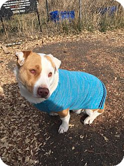 Australian Cattle Dog Mix Dog for adoption in Justin, Texas - Lady