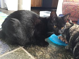 Domestic Shorthair Kitten for adoption in Los Angeles, California - Beauregard