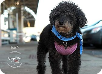 Poodle (Miniature) Dog for adoption in Shawnee Mission, Kansas - Butch