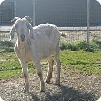 Adopt A Pet :: A706816 - Sacramento, CA