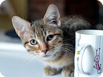 American Shorthair Kitten for adoption in Brooklyn, New York - Brownie