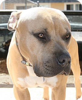 American Pit Bull Terrier/Mastiff Mix Dog for adoption in San Diego, California - Atlas- URGENT! FOSTER NEEDED