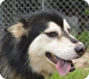 Siberian Husky Mix Dog for adoption in Gainesville, Florida - Keagan