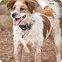 Adopt A Pet :: Trixi - Phoenix, AZ