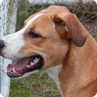 Adopt A Pet :: Tiger - Terrell, TX