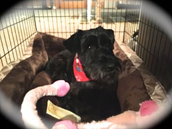 Standard Schnauzer Dog for adoption in Sharonville, Ohio - Molly