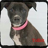 Adopt A Pet :: Tidbit - Old Saybrook, CT