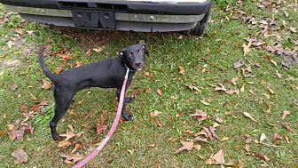 Labrador Retriever Mix Dog for adoption in Goldsboro, North Carolina - Duke