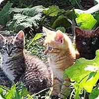 Domestic Shorthair Kitten for adoption in Mt. Laurel, New Jersey - Feral kittens