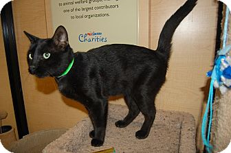 Domestic Shorthair Cat for adoption in Whittier, California - Darwin