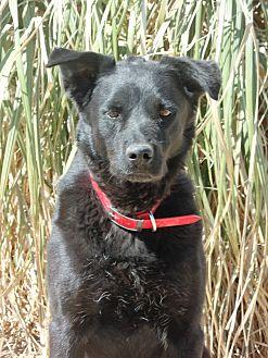 Labrador Retriever/Retriever (Unknown Type) Mix Dog for adoption in Eastsound, Washington - Saul