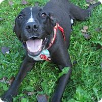 American Staffordshire Terrier Mix Dog for adoption in Menomonie, Wisconsin - Finn
