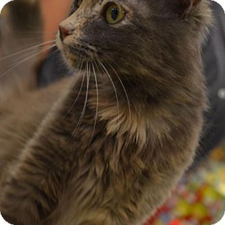 Calico Cat for adoption in Vacaville, California - Casey