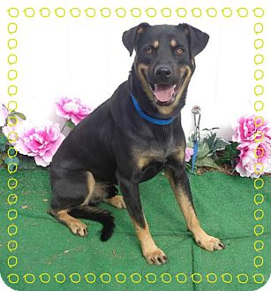 German Shepherd Dog/Rottweiler Mix Dog for adoption in Marietta, Georgia - MACK