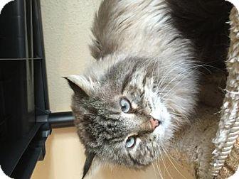Siamese Cat for adoption in Denver, Colorado - Charlie (FIV +)