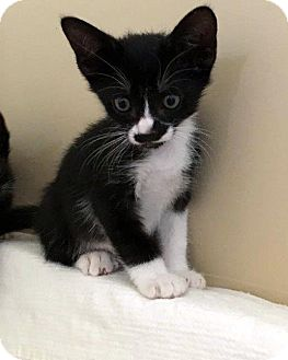 Domestic Shorthair Kitten for adoption in North Las Vegas, Nevada - Louie