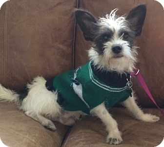Fox Terrier (Smooth) Mix Dog for adoption in Fort Collins, Colorado - Daniel