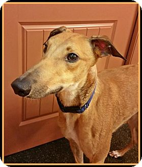 Greyhound Dog for adoption in Austinburg, Ohio - Charlie