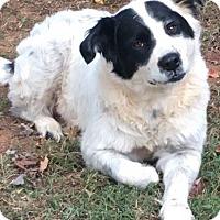 Collie/St. Bernard Mix Dog for adoption in Mount Airy, North Carolina - Sweetie Pie