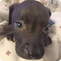 Adopt A Pet :: Cinder - Cincinnati, OH