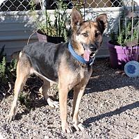 German Shepherd Dog Dog for adoption in Santa Clara, California - Lilac