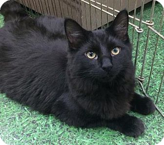 Domestic Longhair Cat for adoption in Romeoville, Illinois - Lea