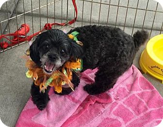 Shih Tzu/Poodle (Miniature) Mix Dog for adoption in Palm Harbor, Florida - Scruffy