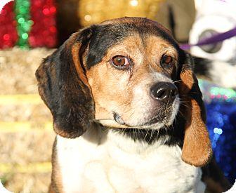 Beagle Mix Dog for adoption in Marietta, Ohio - Lily