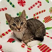 Adopt A Pet :: Mr. Mittens - Potomac, MD
