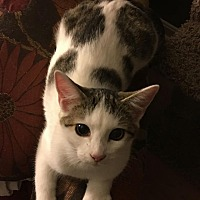 Adopt A Pet :: Twinklebell - Louisville, KY