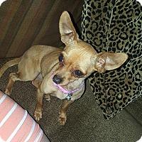 Chihuahua Mix Dog for adoption in Santa Ana, California - Roxy (A)