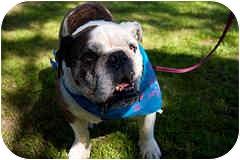 English Bulldog Dog for adoption in San Diego, California - Dixie