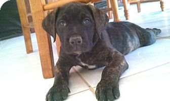 mastiff puppies adopted puppy simi valley ca