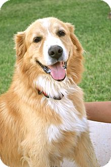 Golden Retriever Mix Dog for adoption in Phoenix, Arizona - Bailey