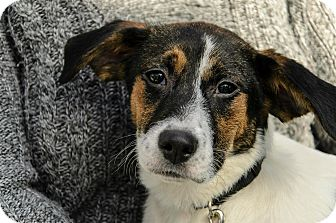 Labrador Retriever/Fox Terrier (Smooth) Mix Puppy for adoption in Lancaster, Pennsylvania - Princess Martin