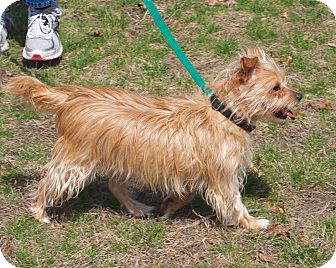 Cairn Terrier/Poodle (Miniature) Mix Dog for adoption in Medfield, Massachusetts - Priscilla