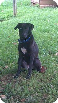Labrador Retriever/Husky Mix Dog for adoption in Manchester, New Hampshire - Bonnie